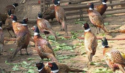 种雉鸡如何饲养管理?种雉鸡饲养管理方法